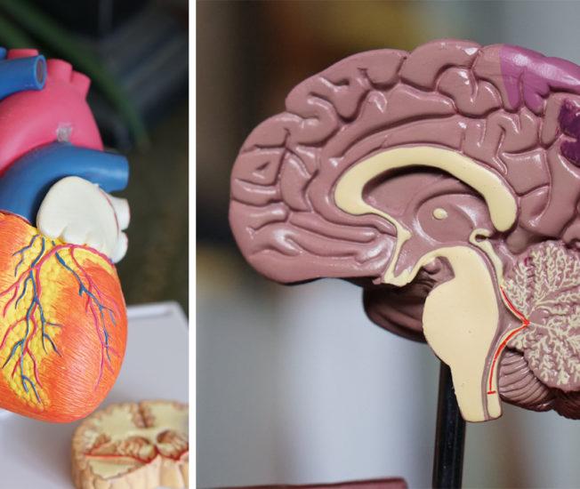 Bild på hjärta och hjärna